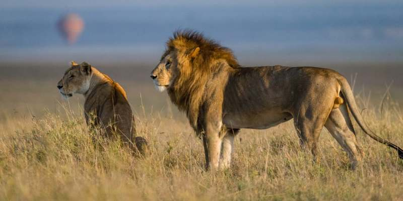 Interesting Facts About The African Lion