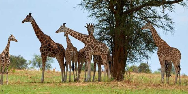 Interesting Facts About The Kenyan Rothschild's Giraffe