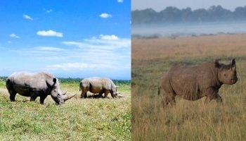 The Difference Between White and Black Rhinos