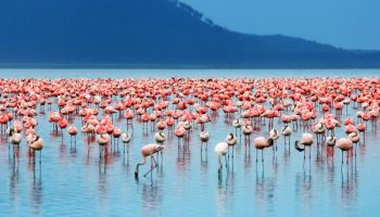 Fascinating Facts About The Kenyan Flamingos