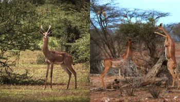 Interesting Facts About Gerenuk: The Giraffe Antelope