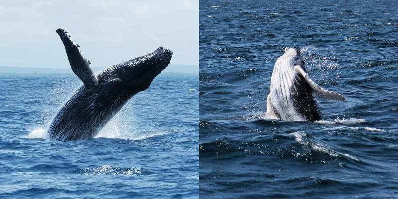 Interesting Facts About The Humpback Whales Of Watamu