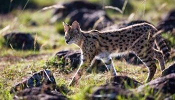 Beautiful Wild Cats to Spot on Your Next Kenyan Safari