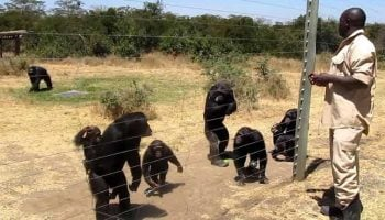 Everything You Need To Know About The Chimpanzees Of Kenya