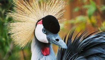Interesting Facts About The East African Crowned Crane