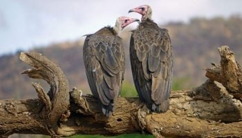 Interesting Facts About Vultures